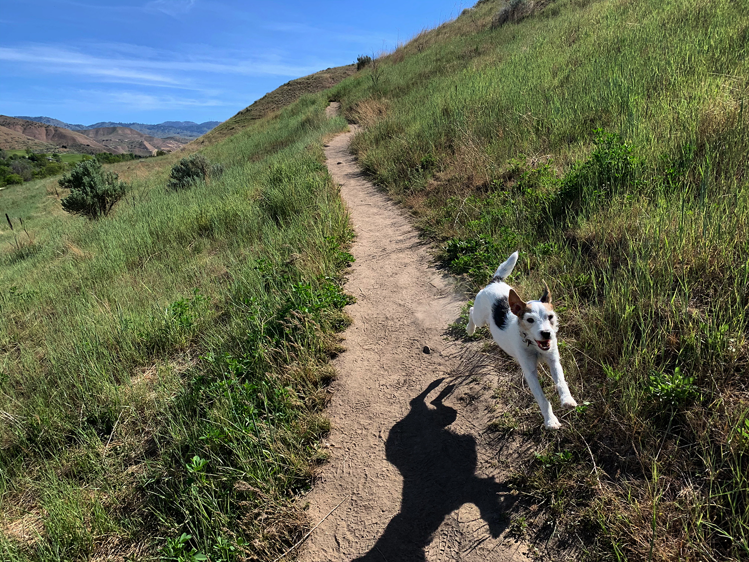 A Jack Russell Terrier enjoys the Full Sail Trail in the Boise Foothills.