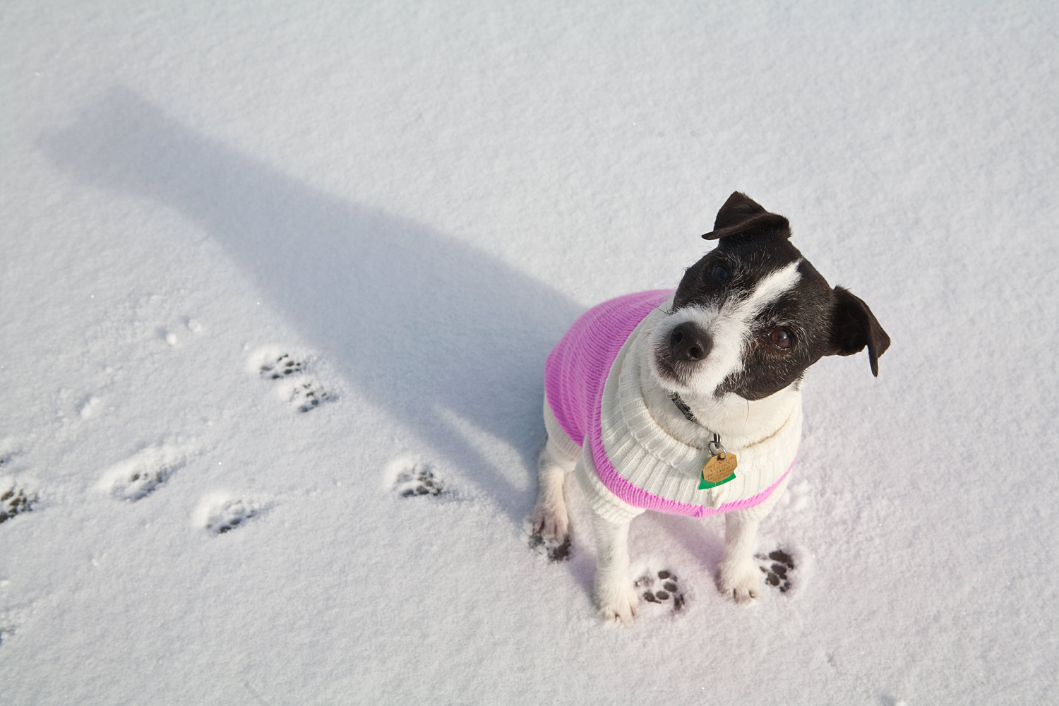 Jack Russell Terrier photographed while wearing a pink sweater in the snow.
